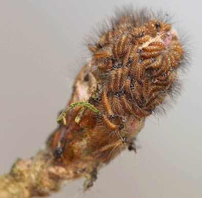 Oak Processionary Moth emergence information and management guidelines